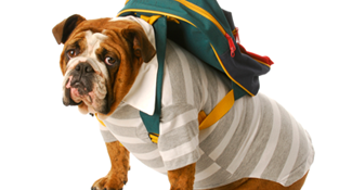 French Bulldog wearing backpack ready to fly