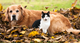 golden retriever black and white cat laying in leaves