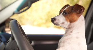 jack russel dog driving car ready to go overseas