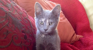 gray kitten on red couch saying take me with you