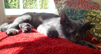 sleeping gray cat on couch laying in sun
