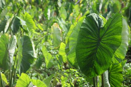 Image of Taro plants- Samoa